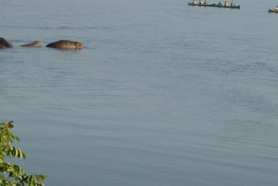 Hippos on Lake Kariba (file photo).