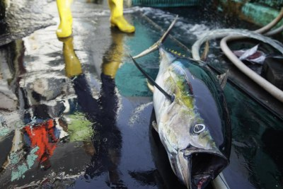 A yellowfin tuna lies on deck of a japanese fishing vessel.