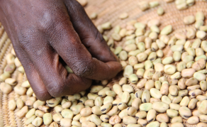 Tanzanian Pigeon Pea Farmers Hit Hard by Indian Ban