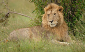Kenya's Moral Police Convinced 'Gay' Lions Are Demon Possessed