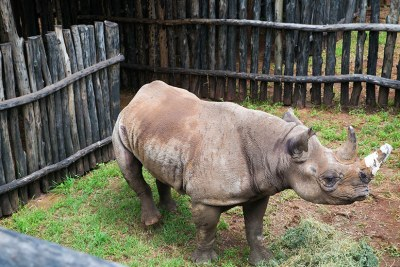 Black rhino (file photo).