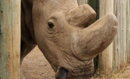 Hope for Surrogate to Save Northern White Rhino from Extinction