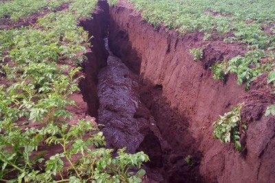 The giant fissure swallowed crops in its wake at at Moi Ndabi area on the outskirts of Naivasha town.