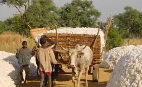 Cameroun: Les contonculteurs rêvent d'un avenir meilleur