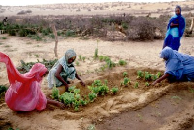 Mauritania: Women rewarded with success in their attempts to grow vegetables in the middle of the desert