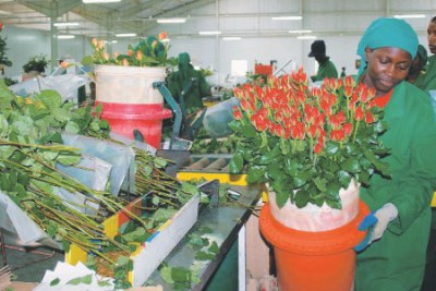 A worker at the Oserian Flower Farm located in Kenya's Rift Valley packs a bouquet of roses at the semi automated home pack in readiness for export (file photo).