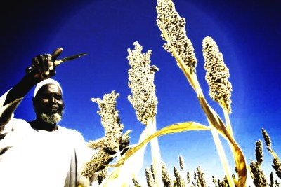 A local farmer harvests sorghum produced from seeds donated by the Food and Agriculture Organization (FAO) through the