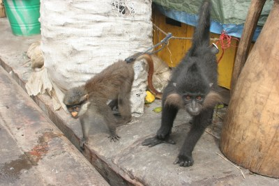 Monkeys in a village. (file photo)