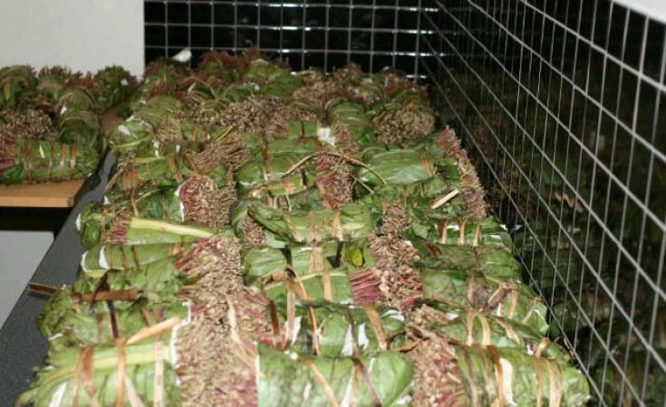East Africa: Khat in the Horn of Africa - A Scourge or