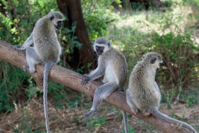 Vervet monkeys (file photo)