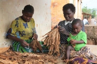 Small scale tobacco farmers