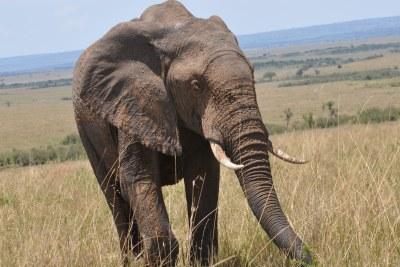 (Photo d'archives) - Les éléphants sont de plu en plus menacés au Cameroun