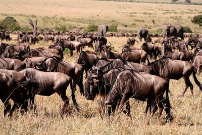 The last of the wildebeest on their epic migration from the Masai Mara to the Serengeti.