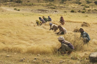 Men and women harvest the Ethiopian staple grain teff in a roadside field between Axum and Adwa in Northern Ethiopia (file photo).