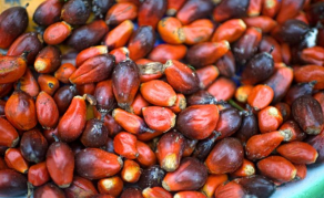 Palm Oil Land Ruling Will 'Empower' Communities in Sierra Leone