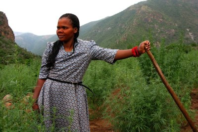 Cannabis farming in the Pondoland region of the Eastern Cape (file photo).