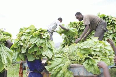 Tobacco farmers (file photo).