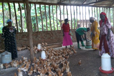 A women's chicken rearing enterprise.