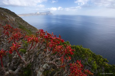 Flowering fynbos, Tylecodon grandiflorus (a crassula), looking North East over False Bay from the Cape of Good Hope section of Table Mountain National Park (file photo).