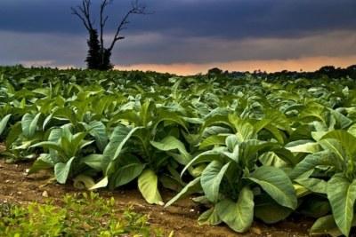 Tobacco farm (file photo).