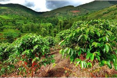 Nyinawumuntu's coffee plantation in Kayonza (file photo).