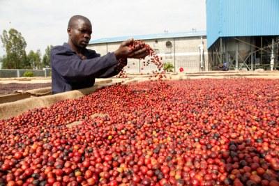 A farmer dries coffee (file photo).