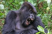 Les efforts de protection des gorilles des montagnes portent leurs...