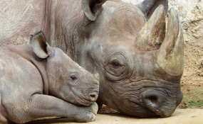 Zimbabwe: Seven Chinese Rhino Poaching Suspects to Finally Stand