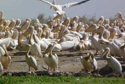 Le Parc national des oiseaux de Djoudj