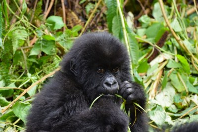 Gorillas are a tourist draw-card in East Africa.