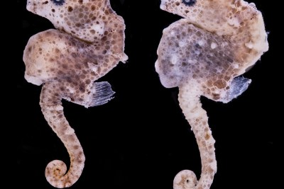 How an Underwater Photo Led to Discovery of Tiny Seahorse Species