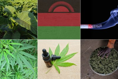 tobacco farm, top, cannabis crop,bottom left, cannabis oil, middle, picked cannabis (file photo).